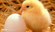 کشتار گسترده مرغها منجر به افزایش قیمت تخم مرغ شد
